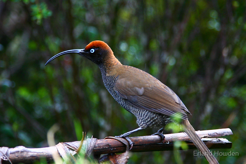 Sickle Bill Bird of Paradise, PNG by Erland Howden