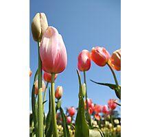 Tulip Rise Photographic Print