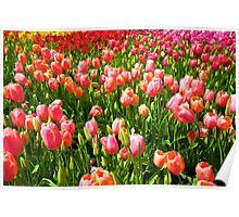 Forever Tulip Poster