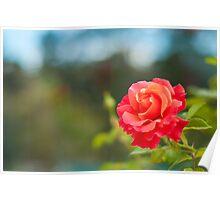 Firestar Rose Poster