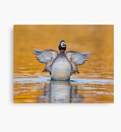 Rise of the Scaup Canvas Print