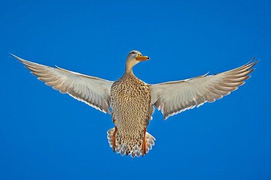 Duck; its a mallard by Daniel  Parent