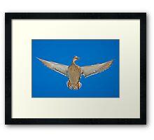 Duck; its a mallard Framed Print