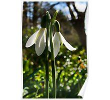 Spring Snowdrops at Mangerton Mill, Dorset Poster