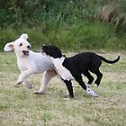 Spanish Water Dog sisters having fun. by dazb75