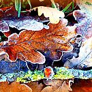 Frosty Oak Leaves by ©The Creative  Minds