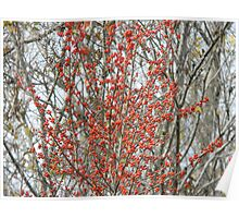 Red the Berries of the Tree Poster