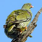 A green pigeon by jozi1