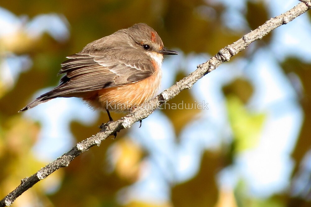 Vermilion Flycatcher ~ 1st Winter Male by Kimberly Chadwick