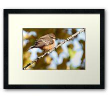 Vermilion Flycatcher ~ 1st Winter Male Framed Print