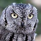 Western Screech-Owl by Kimberly Chadwick