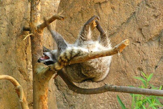 Raccoon ~ Yippee! by Kimberly Chadwick