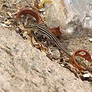 Gila/Sonoran Spotted Whiptail (Juvenile) by Kimberly Chadwick