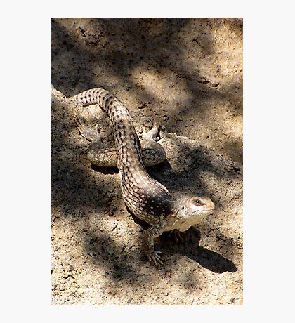 Desert Iguana Photographic Print