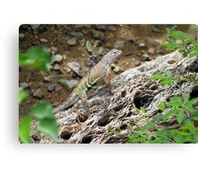 Greater Earless Lizard ~ Male Canvas Print