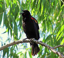 Red-winged Blackbird ~ Male Singing by Kimberly Chadwick
