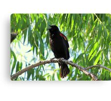 Red-winged Blackbird ~ Male Singing Canvas Print
