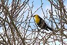Yellow-headed Blackbird ~ Male by Kimberly Chadwick
