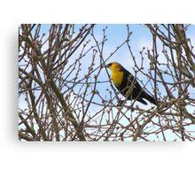 Yellow-headed Blackbird ~ Male Canvas Print