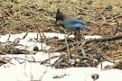 Steller's Jay ~ Deschutes National Forest ~ Bend, Oregon  by Kimberly Chadwick