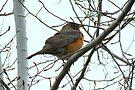 American Robin ~ Bend,Oregon by Kimberly Chadwick