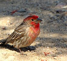 House Finch ~ Male (R.I.P.) by Kimberly Chadwick