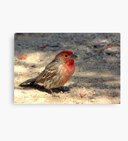 House Finch ~ Male (R.I.P.) Canvas Print