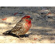 House Finch ~ Male (R.I.P.) Photographic Print