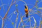 Hooded Oriole ~ Male by Kimberly Chadwick