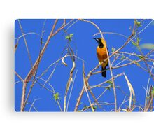 Hooded Oriole ~ Male Canvas Print