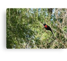 Red-winged Blackbird ~ Male Canvas Print