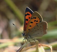 Small copper butterfly. by Anthony Lee