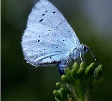 Holly blue butterfly egg laying. by Anthony Lee