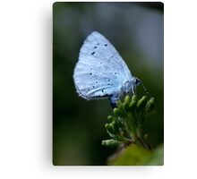Holly blue butterfly egg laying. Canvas Print
