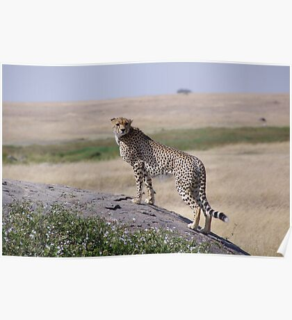 African Wildlife - The Majestic Cheetah Poster