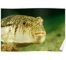 Swansea Toadfish Poster