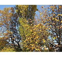 Golden Leaves against a Blue Sky Photographic Print