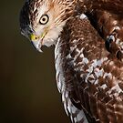 Red Tailed Hawk  by Michael Cummings