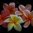 Christmas Frangipani 2011 by Keith G. Hawley