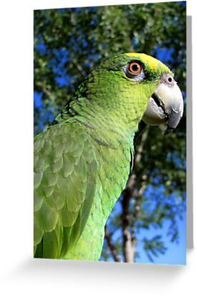 Charlie ~ Orange-winged Amazon by Kimberly Chadwick