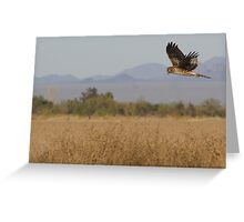 Northern Harrier ~ Searching for supper Greeting Card