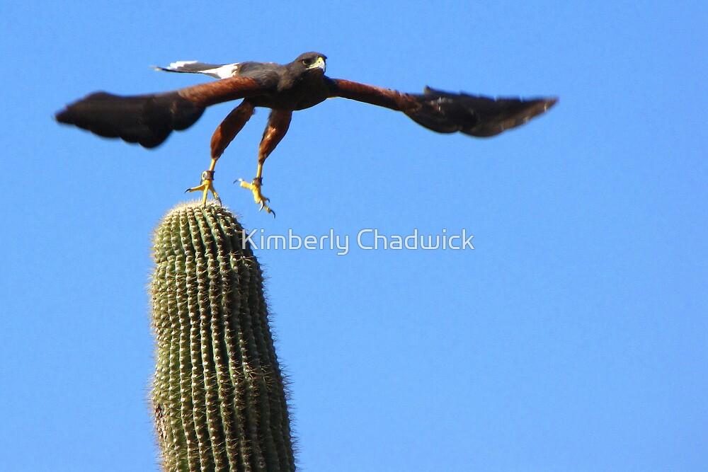 Harris's Hawk ~ Away I Go! by Kimberly Chadwick