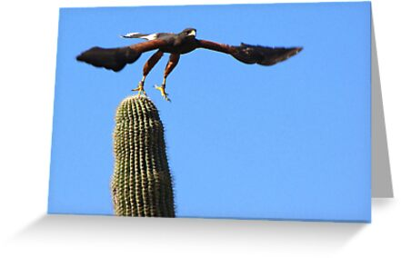 Harris's Hawk ~ Away I Go! by Kimberly Chadwick