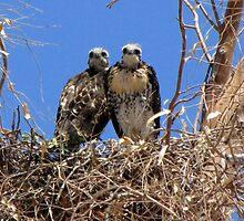 Red-tailed Hawk ~ Babies XI by Kimberly Chadwick