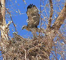 Red-tailed Hawk ~ Babies IX by Kimberly Chadwick