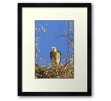 Red-tailed Hawk ~ Babies VII Framed Print