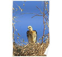 Red-tailed Hawk ~ Babies VII Poster