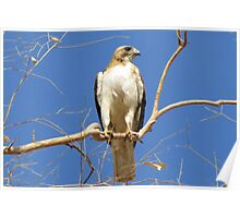 Red-tailed Hawk (Light Morph) ~ Proud Parent Poster