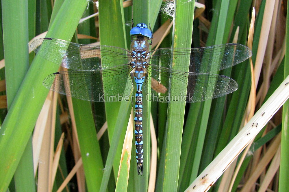 Dragonfly ~ Blue-Eyed Darner (Male) by Kimberly Chadwick
