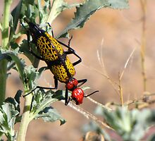 Iron-Cross Blister Beetle by Kimberly Chadwick